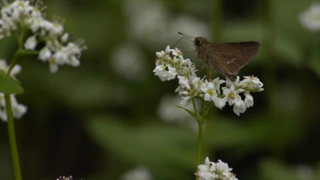 butterfly on buckwheat flower, nagano, japan - buckwheat stock videos & royalty-free footage
