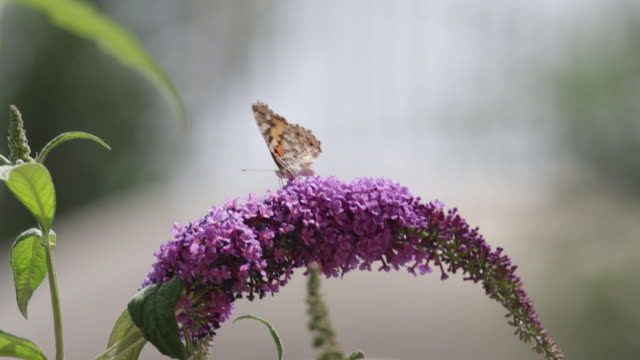 butterfly on butterfly bush - flowering plant stock videos & royalty-free footage