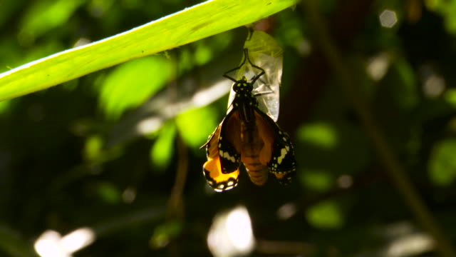 butterfly on empty chrysalis, malaysia. - emergence stock videos & royalty-free footage