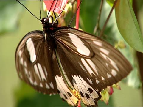 vídeos y material grabado en eventos de stock de cu, selective focus, butterfly on flower, popondetta, orno province, papua new guinea - simbiosis
