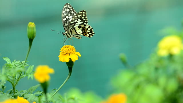 butterfly on flower - butterfly stroke stock videos and b-roll footage
