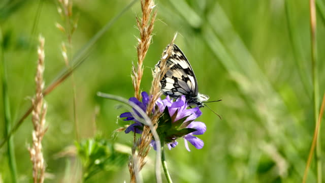 butterfly on flowering in the summer wind - wildflower stock videos & royalty-free footage