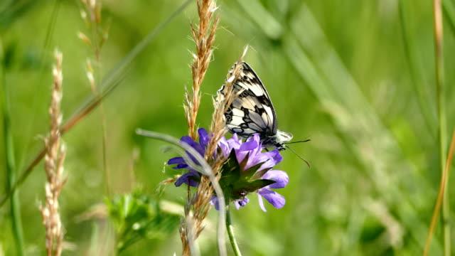 schmetterling auf blüte im sommerwind - wildblume stock-videos und b-roll-filmmaterial
