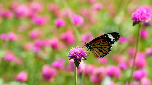stockvideo's en b-roll-footage met vlinder aan bloemen - vlinder