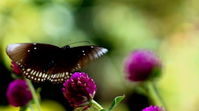 """vídeos de stock, filmes e b-roll de borboleta em flores, câmera lenta """" - conceito"""