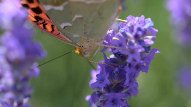バタフライにアロエラヴェンダー花、クローズアップ - 雌しべ点の映像素材/bロール