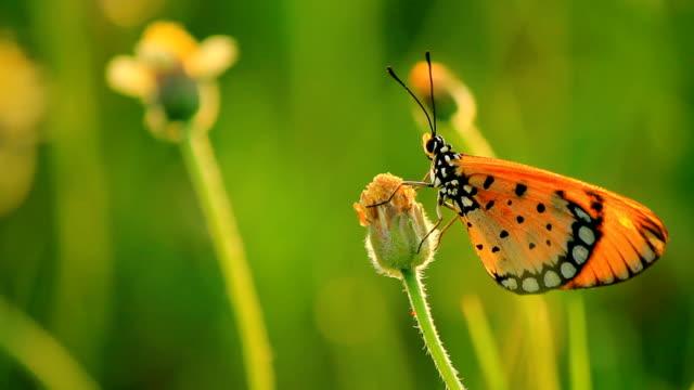 stockvideo's en b-roll-footage met butterfly on little flower - vachtpatroon