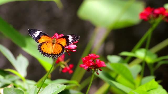 stockvideo's en b-roll-footage met butterfly on red flower - vlinder