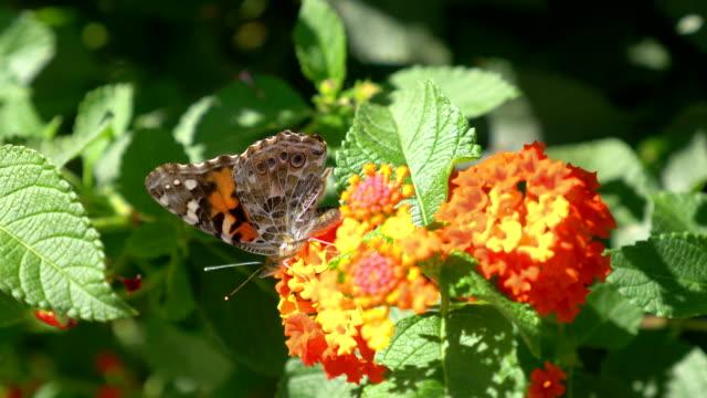 Vlinder aan de bloem in slowmotion 4K