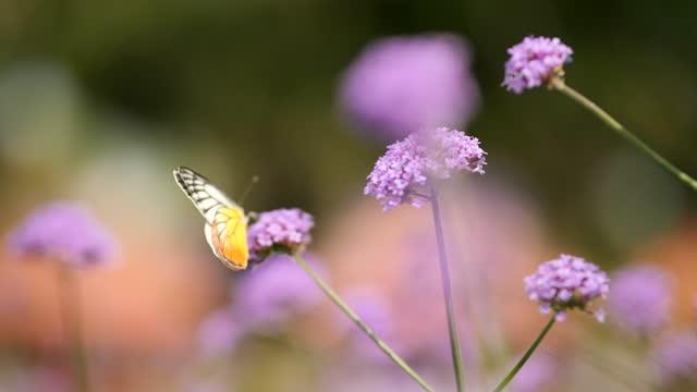 vidéos et rushes de papillon sur les fleurs fleurissant le ralenti - papillon