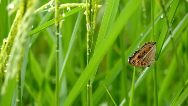 butterfly on the rice tree - morning dew stock videos & royalty-free footage
