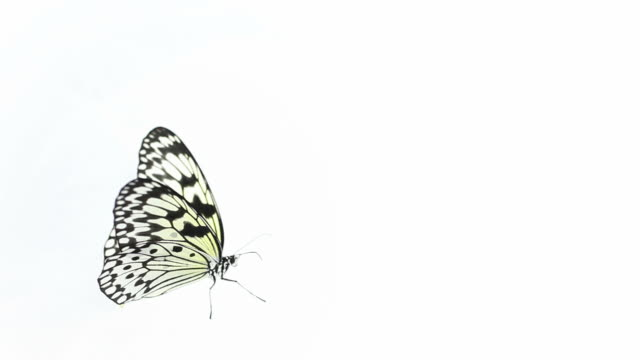 butterfly on white background - butterfly stock videos & royalty-free footage