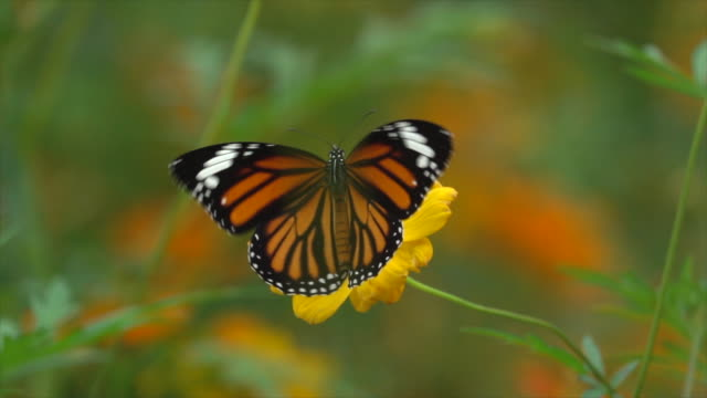 butterfly on yellow flower slow motion - farfalla video stock e b–roll