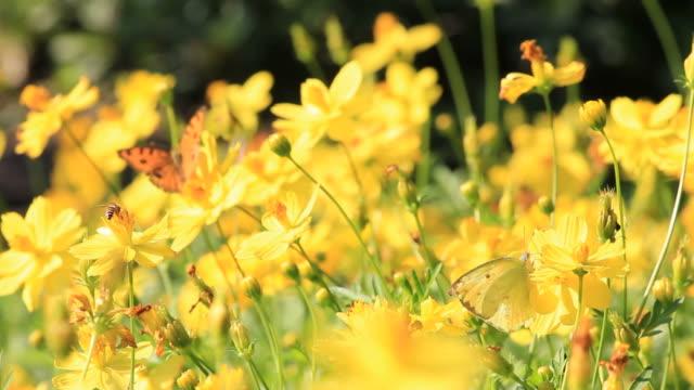 schmetterling auf gelb - wildblume stock-videos und b-roll-filmmaterial