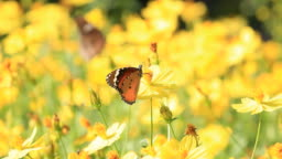 Butterfly on yellow wildflowers