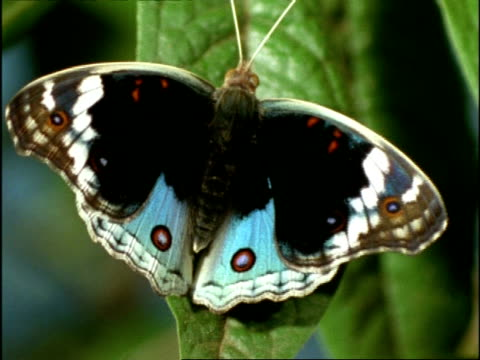 cu butterfly opening and closing wings to reveal markings, australia - tierflügel stock-videos und b-roll-filmmaterial