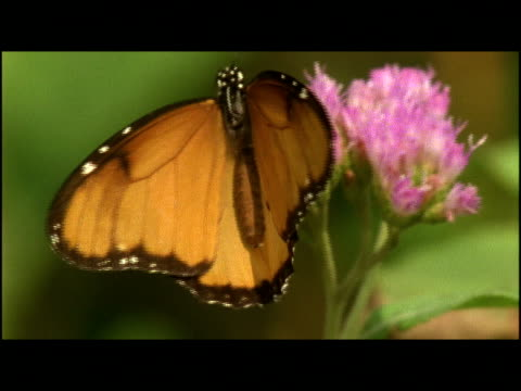 a butterfly opens its wings as it feeds on a blossom. - invertebrate stock videos & royalty-free footage