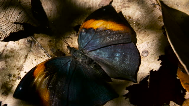 butterfly opens wings, malaysia. - camouflage stock videos & royalty-free footage