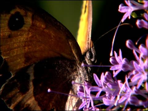 butterfly - probably spanish gatekeeper (pyronia bathseba), parque natural sierras de cazorla, segura y las villas (jaen), andalucia, spain - 動物の色点の映像素材/bロール