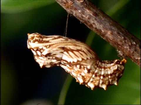 stockvideo's en b-roll-footage met cu butterfly pupa anchored to branch by silk girdle, australia - aan elkaar bevestigd