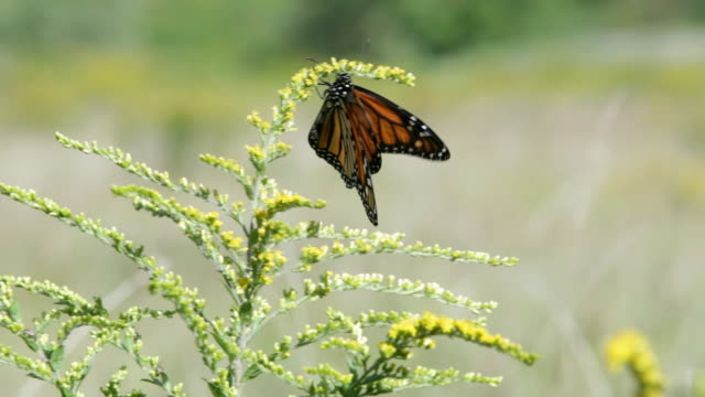 CU Butterfly resting in a field on plant blowing in the breeze / Stowe, Vermont, United States
