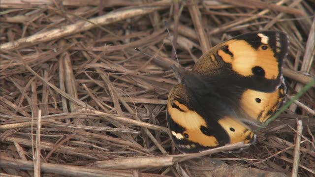 a butterfly rests in dry grass. - gliedmaßen körperteile stock-videos und b-roll-filmmaterial