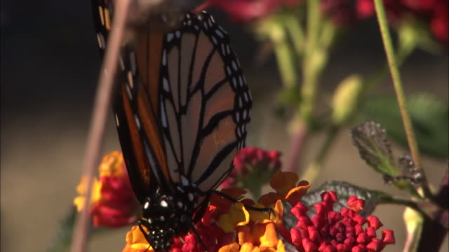a butterfly sips nectar from a brightly colored wildflower. - ragged point stock videos and b-roll footage