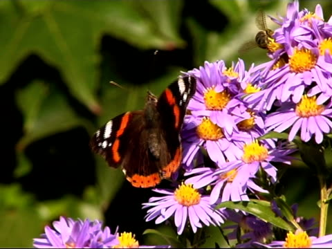 butterfly sitting on a flower pal - pistil stock videos & royalty-free footage