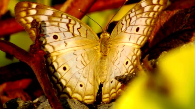 vídeos de stock e filmes b-roll de borboleta sentado na planta asas lentamente, em movimento - um animal