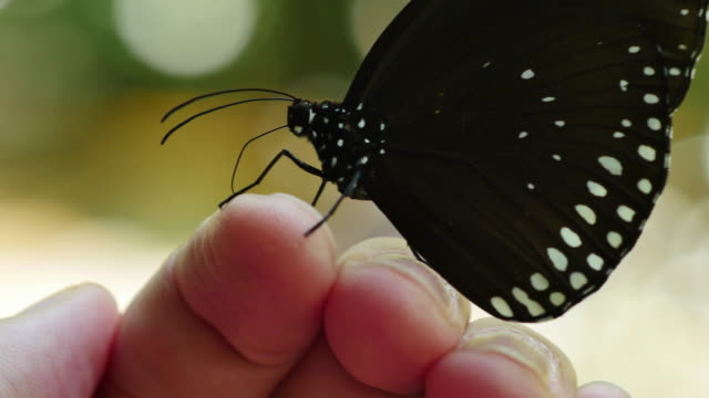 butterfly sucking minerals on the human finger. - human finger stock videos and b-roll footage