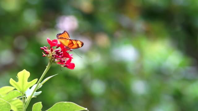 vídeos y material grabado en eventos de stock de chupar néctar de mariposa flor en un jardín. - pistilo