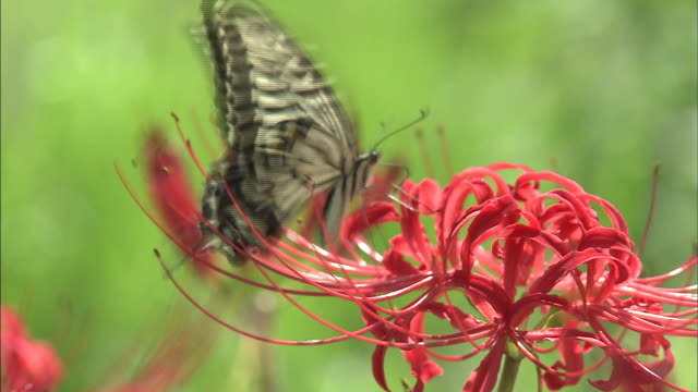 butterfly sucking nectar from the flower   up - spider lily stock videos and b-roll footage