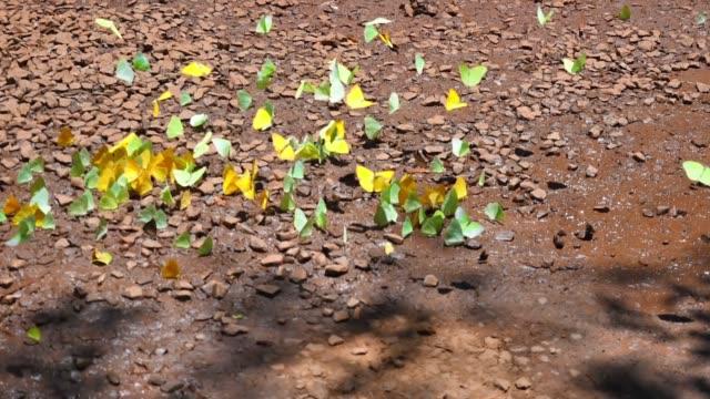 vídeos de stock, filmes e b-roll de enxame de borboleta no parque nacional do iguaçu, argentina - grupo de animais