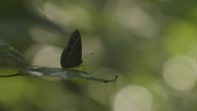 Butterfly takes off from leaf in woodland. Japan.