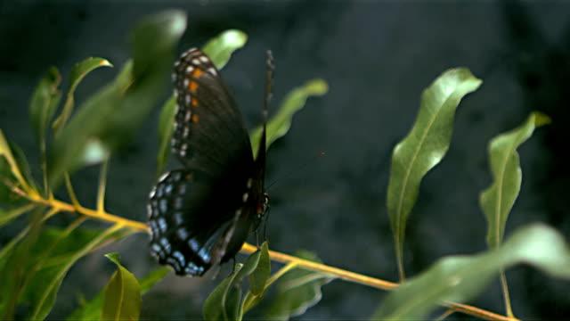 vídeos de stock e filmes b-roll de borboleta a tomar - borboleta