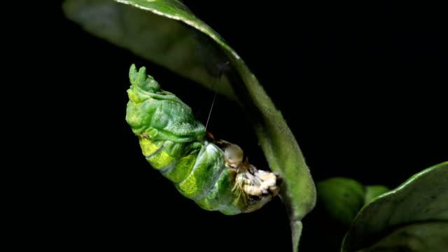 vidéos et rushes de papillon à balle papillon chrysalide - cocon