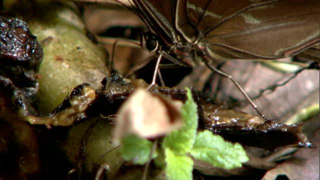 a butterfly uses its proboscis to eat - gliedmaßen körperteile stock-videos und b-roll-filmmaterial