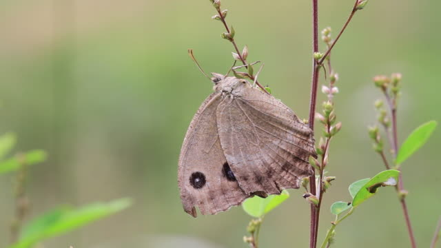 butterfly (minois dryas) - gliedmaßen körperteile stock-videos und b-roll-filmmaterial