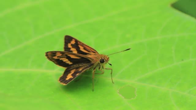 butterfly (ochlodes ochraceus) - gliedmaßen körperteile stock-videos und b-roll-filmmaterial