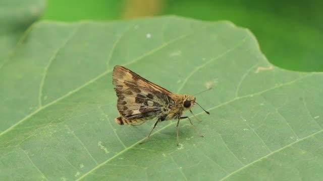butterfly (erynnis montana) - gliedmaßen körperteile stock-videos und b-roll-filmmaterial