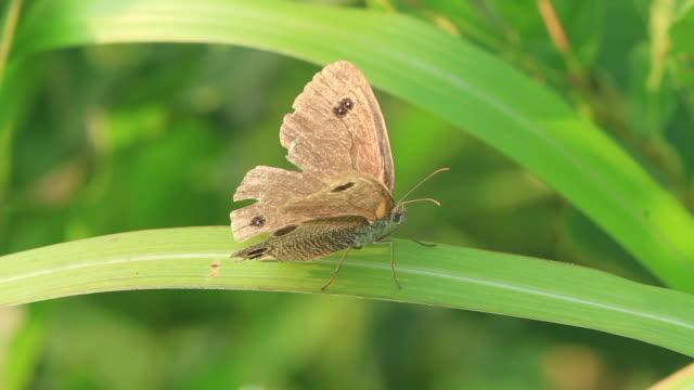 butterfly (ypthima multistriata) - gliedmaßen körperteile stock-videos und b-roll-filmmaterial