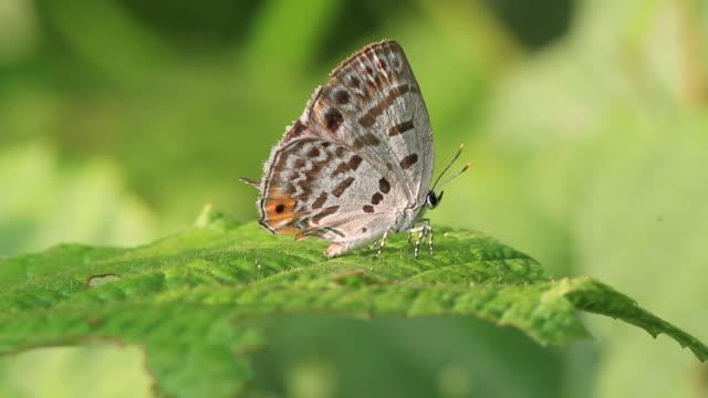 butterfly (antigius attilia) - gliedmaßen körperteile stock-videos und b-roll-filmmaterial
