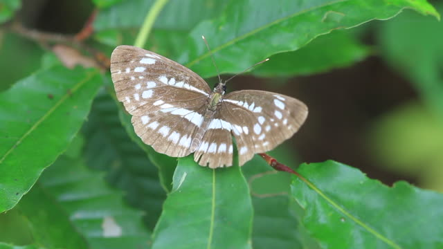 butterfly (neptis pryeri) - gliedmaßen körperteile stock-videos und b-roll-filmmaterial