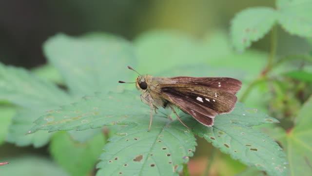 butterfly (pelopidas jansonis) - gliedmaßen körperteile stock-videos und b-roll-filmmaterial