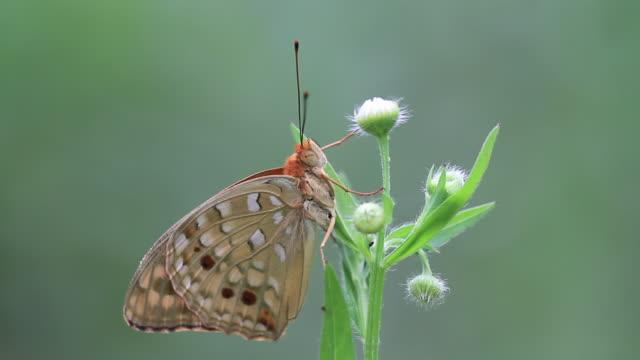 butterfly (argynnis nerippe) - gliedmaßen körperteile stock-videos und b-roll-filmmaterial