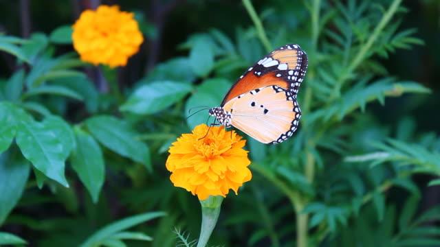 butterfly - - audio verfügbar stock-videos und b-roll-filmmaterial