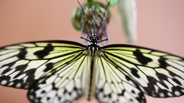 vídeos de stock e filmes b-roll de borboleta. - um animal