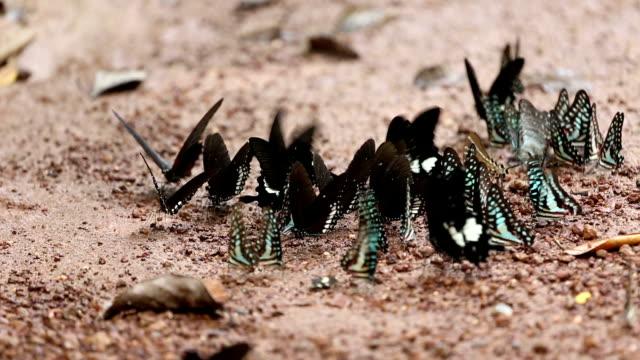 vidéos et rushes de papillon. - en individuel
