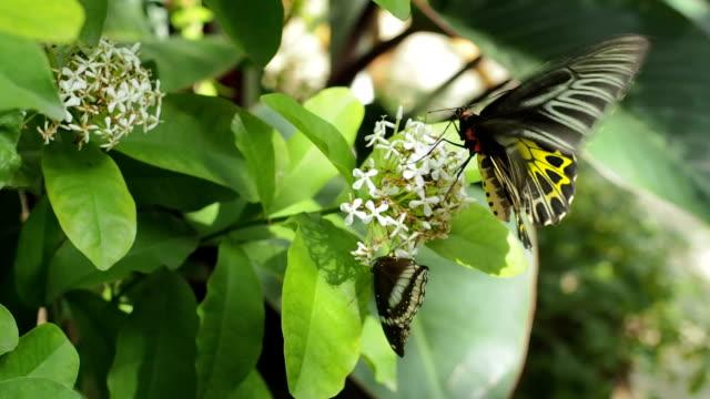 schmetterling (golden bird-flügel) - saugen mund benutzen stock-videos und b-roll-filmmaterial