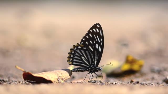 stockvideo's en b-roll-footage met vlinder - voelspriet